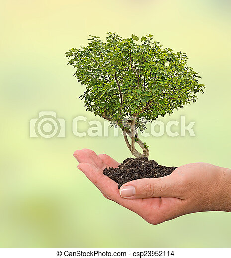 Fig tree in hand - csp23952114