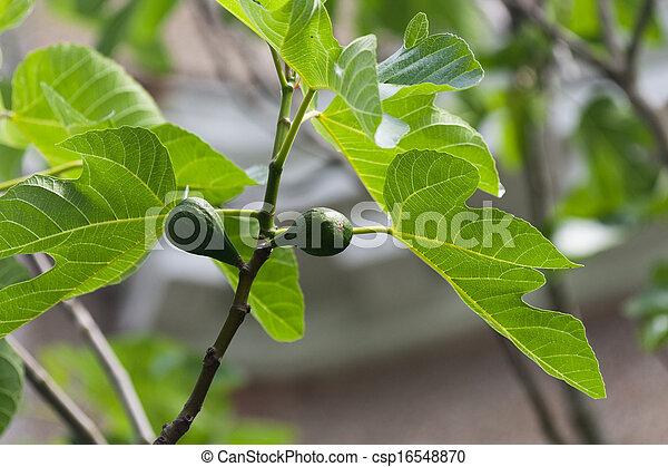 Fig Tree - csp16548870