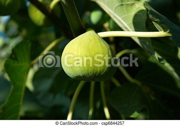 Fig tree - csp6844257