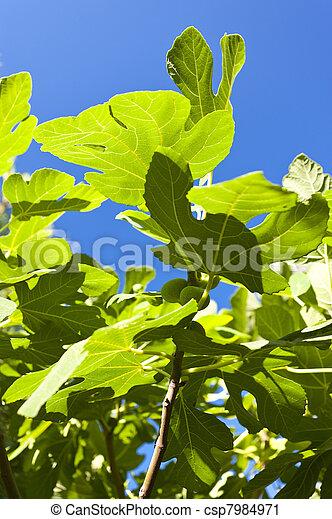Fig tree - csp7984971
