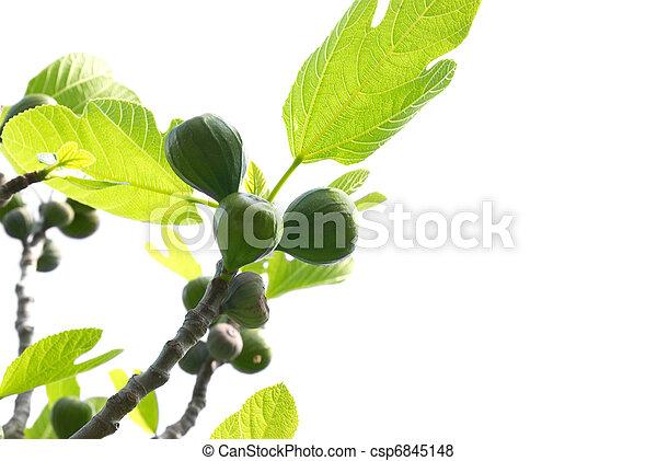 Fig tree - csp6845148