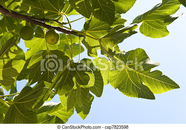 Fig Tree - csp7823598