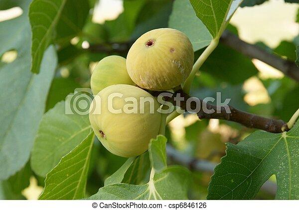 Fig tree - csp6846126