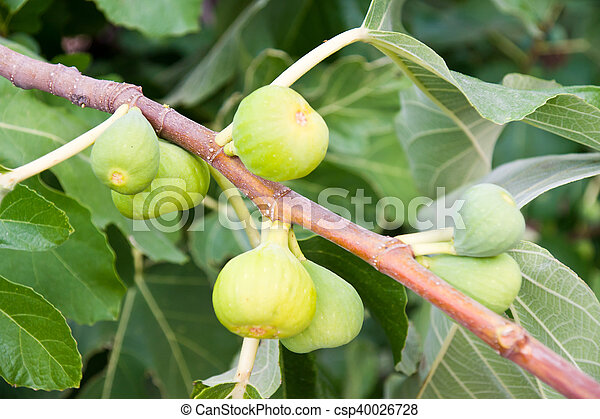 fig tree - csp40026728