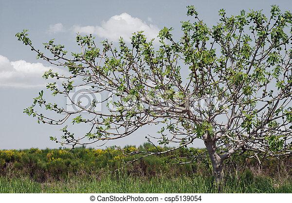 fig tree - csp5139054