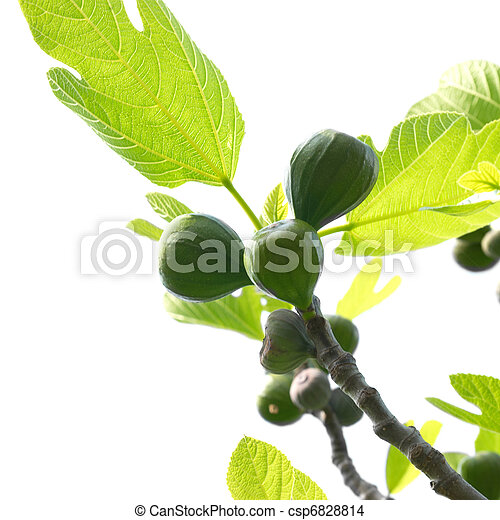 Fig tree - csp6828814