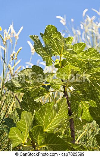 Fig Tree - csp7823599