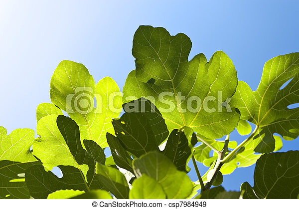 Fig tree - csp7984949