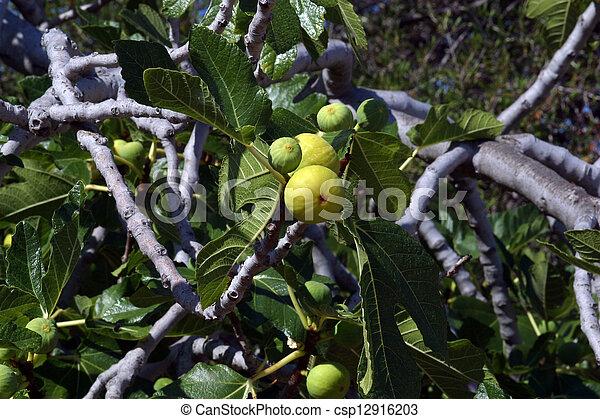 Fig tree - csp12916203