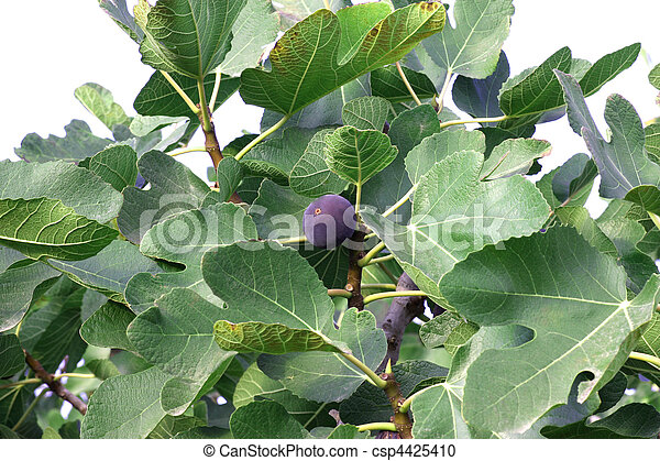 Fig Tree - csp4425410