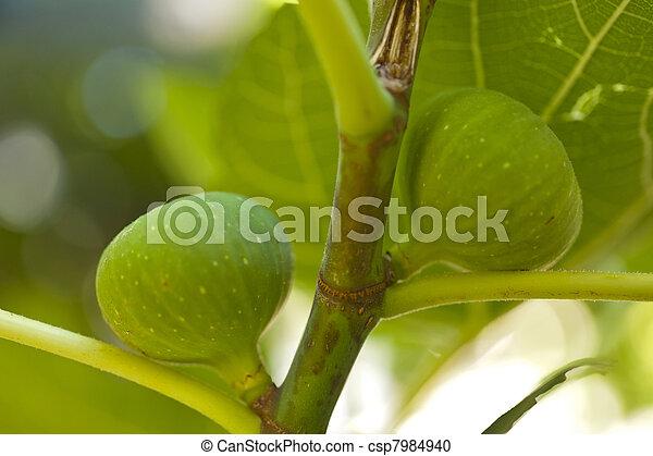 Fig tree - csp7984940