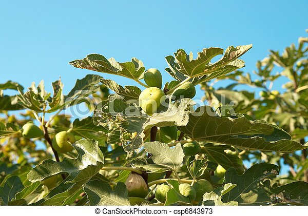 Fig tree - csp6843973