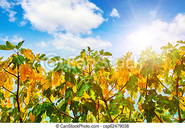 Fig Tree With Yellow And Green Leaves Fig Trees With Yellow And Green Leaves Tree Brunches On Blue Sky With Clouds