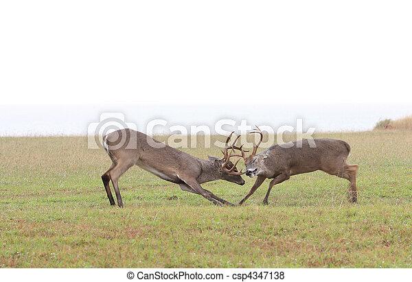 Fighting Deer - csp4347138
