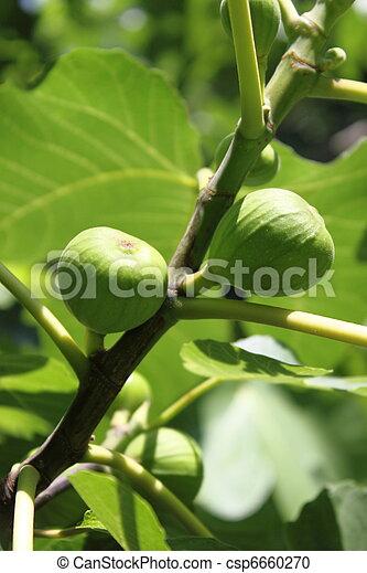 Figs on tree - csp6660270
