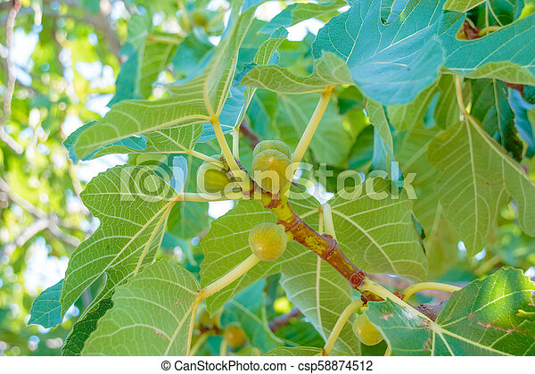 Figs ripening on a branch in a shady corner of a garden. Fig tree. Ripe fig fruits on tree branch. Green figs in a sunny day. Growing fig fruit - csp58874512