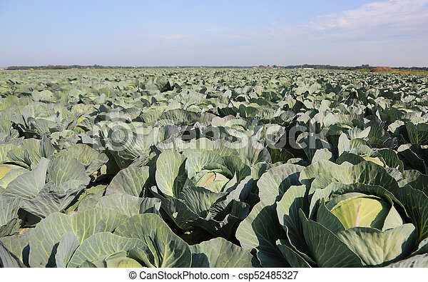 fiield of ripe large green cabbages in northern Europe in summer
