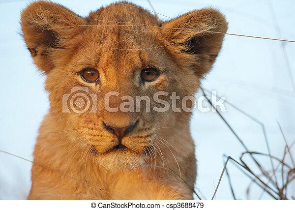 filhote, close-up, leo), (panthera, leão - csp3688479