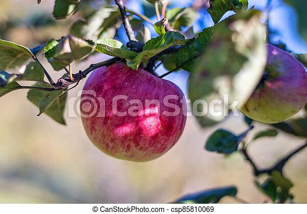 filiálka, strom, list, červeň, zralý, jablko, - - csp85810069