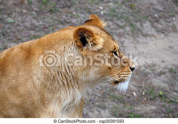 Fim quadro cima lion fim quadro macho cima lion