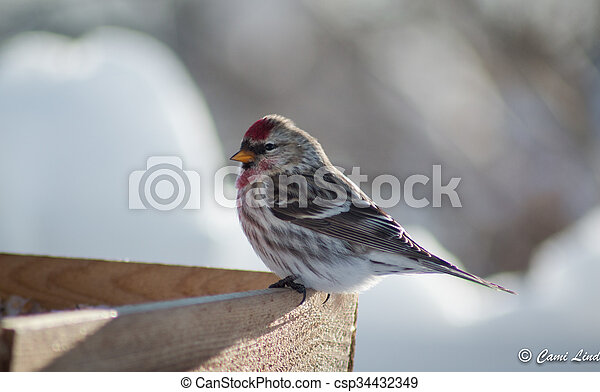 Finch at the Feeder - csp34432349