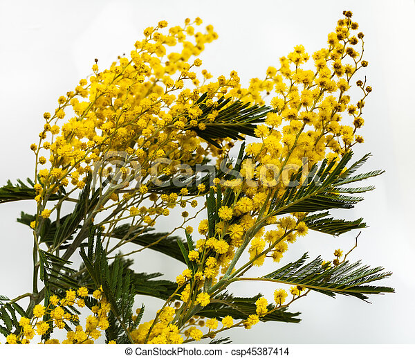 Fine yellow flowers mimosa acacia dealbata beautiful spring fine yellow flowers mimosa acacia dealbata beautiful spring flowers on a white background yellow inflorescences and green leaves close up mightylinksfo