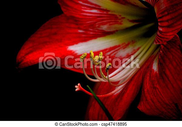 Fiore Amarilli Contro Sfondo Nero Rosso Vivido Amarilli