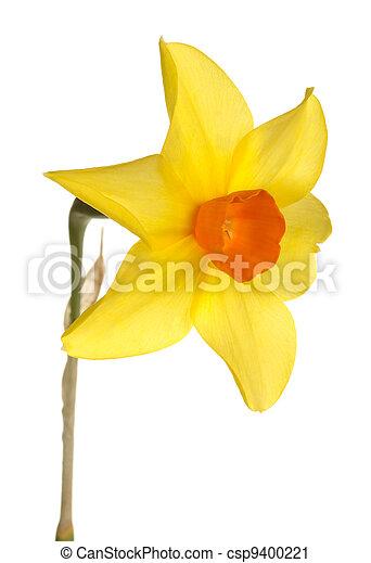 Fiore narciso contro sfondo giallo arancia bianco for Narciso giallo