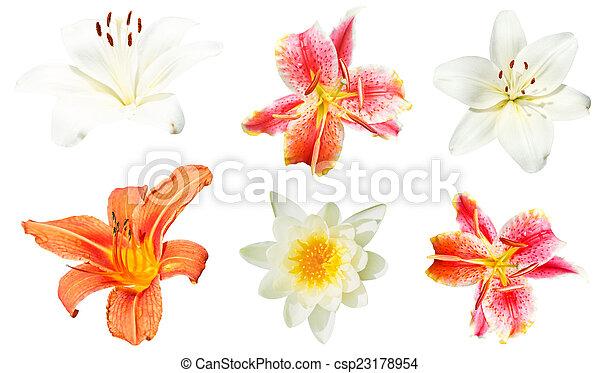 fiori, bianco, set, giglio, isolato - csp23178954