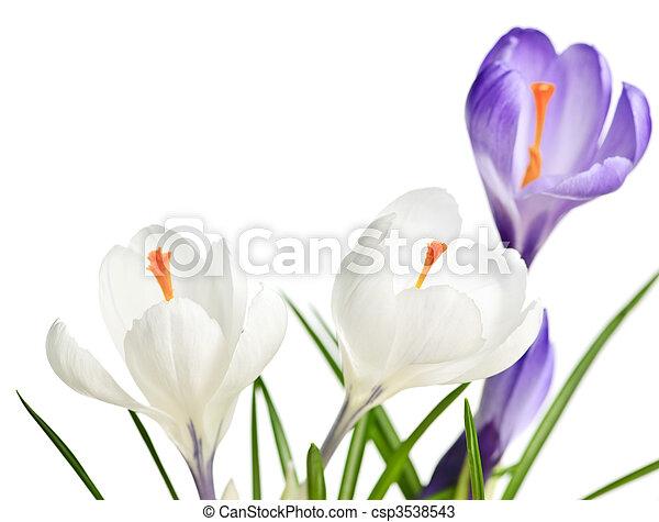 fiori primaverili, croco - csp3538543