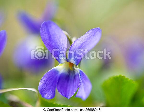Immagini Fiori Violette.Fiori Violette Fiori Primaverili Azzurramento Prato Violette