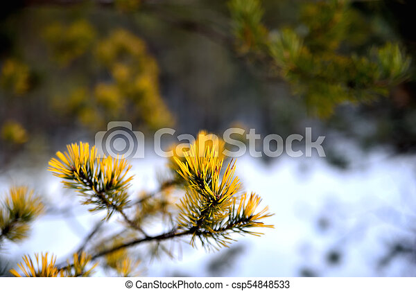 Fir branch against the background of a winter forest - csp54848533