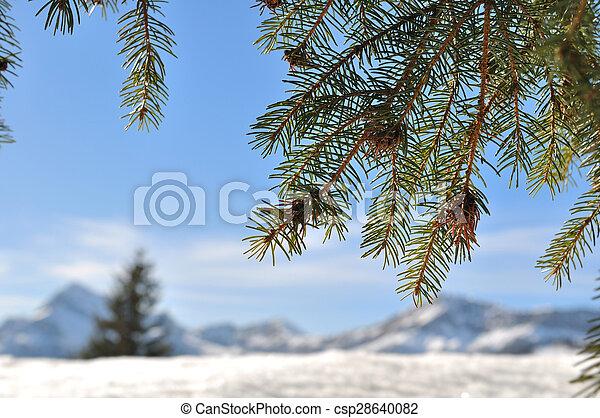 fir branch - csp28640082