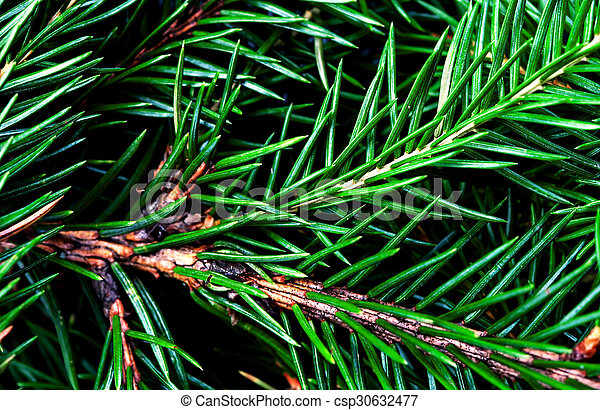 Fir Tree Branch Background Close Up Christmas Pine Branches