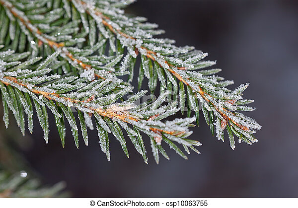 fir tree branches - csp10063755