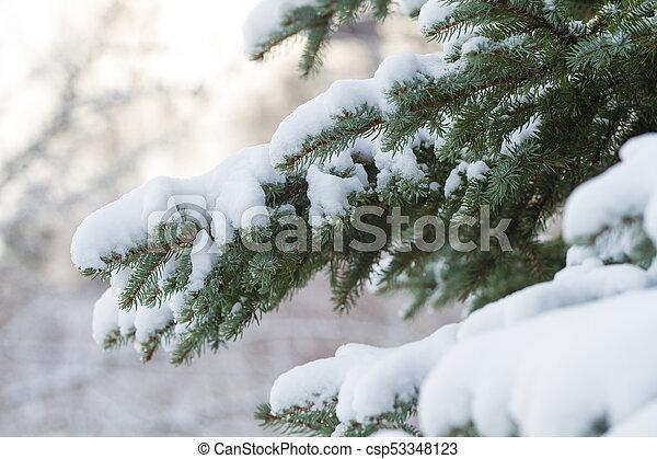 Fir tree in winter - csp53348123