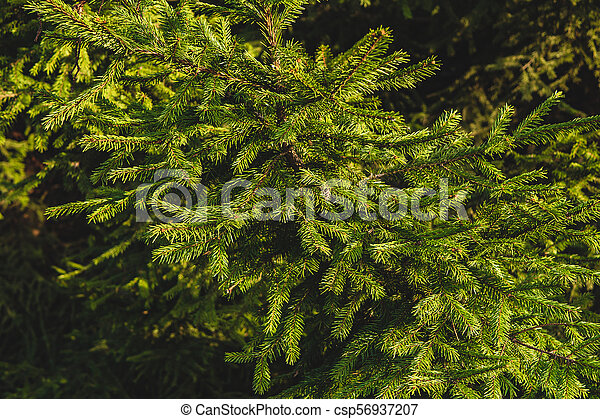 Fir tree on a sunny summer day - csp56937207