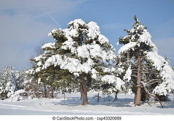 fir-tree under snow cap in winter - csp43320689