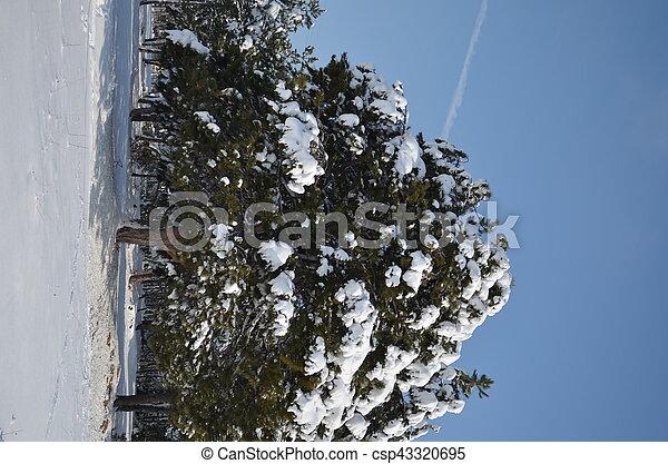fir-tree under snow cap in winter - csp43320695