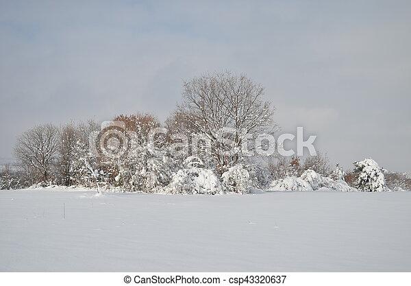 fir-tree under snow cap in winter - csp43320637