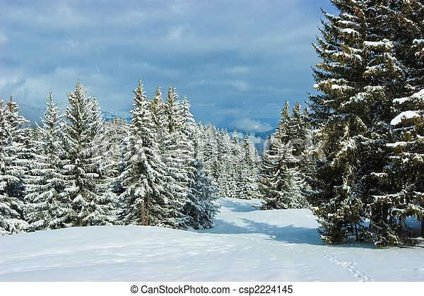Fir trees on winter mountain - csp2224145