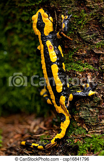 fire salamander salamandra closeup in forest outdoor - csp16841796