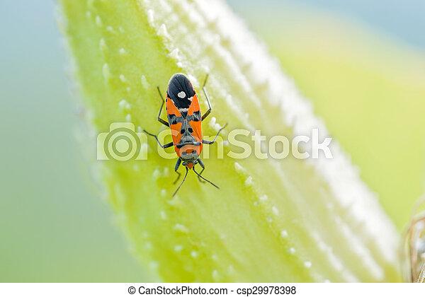 Firebug on a Fruit of Asclepias Syriaca - csp29978398