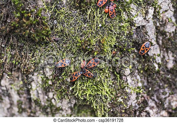 Firebugs on moss - csp36191728