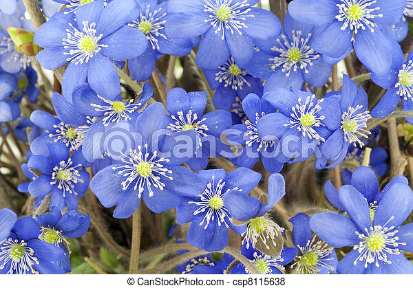 First blue springs flowers background first blue wild woods first blue springs flowers background csp8115638 mightylinksfo