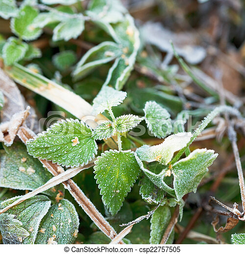 first frost on green leaves of nettle in autumn - csp22757505