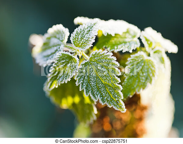 first frost on green nettle leaves in autumn - csp22875751