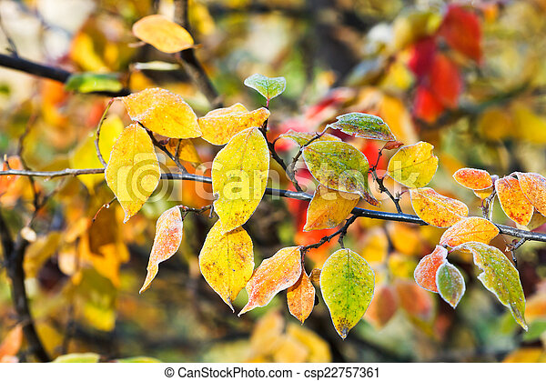 first frost on yellow, red leaves in autumn - csp22757361
