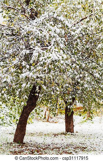 first snow on apple trees in autumn - csp31117915