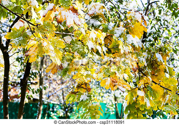 first snow on leaves of maple tree in sunny autumn - csp31118091